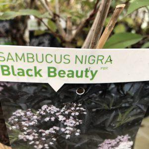 Sambucus Nigra ´Black Beauty´