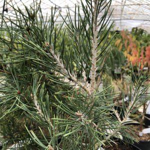 Pinus cembroides 'Juno'