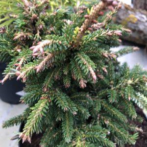 Picea orientalis 'Juwel'