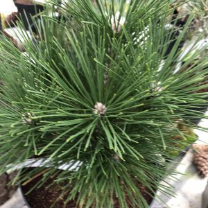 Pinus thunbergii 'Emery's Dwarf'