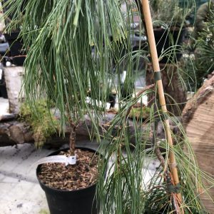 Pinus strobus 'Angel Fals'