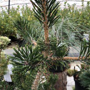Pinus thunbergii 'Sunsho'