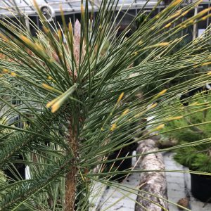 Pinus jeffreyi 'Misty Lemon'