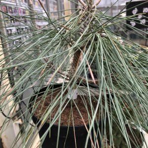 Pinus sabiana 'Isabella'