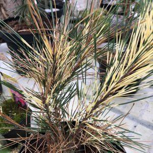 Pinus densiflora 'Oculus'