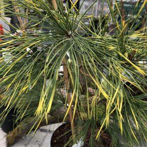 Pinus densiflora ´Aurea´