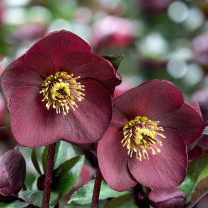 ICE N Roses – Brunello