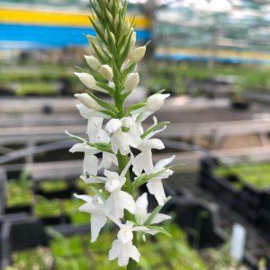 Dactylorhiza maculata alba