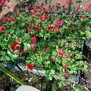 Fulgens annulata Grandiflora